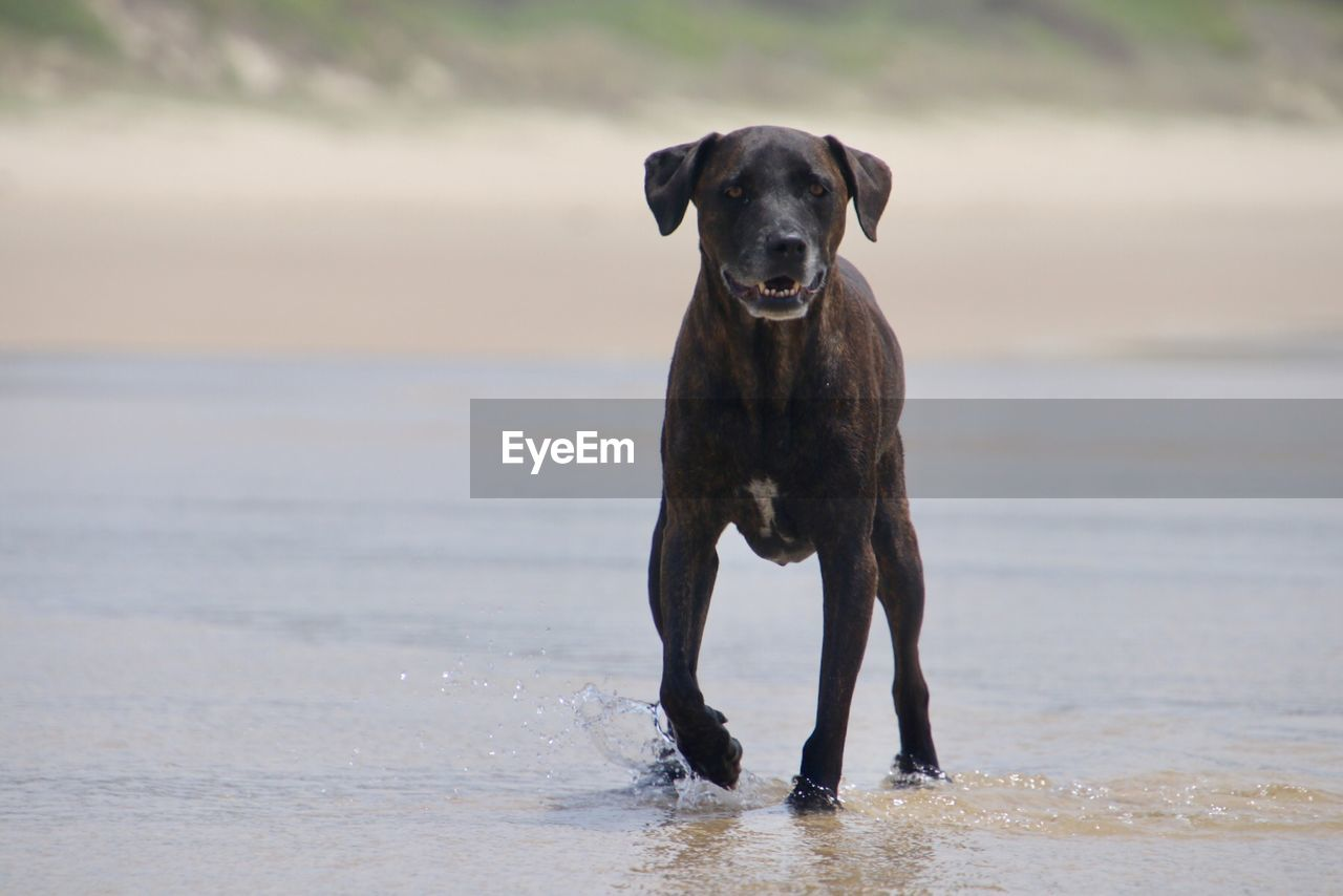 one animal, dog, canine, domestic animals, pets, domestic, mammal, animal themes, animal, vertebrate, water, looking at camera, portrait, focus on foreground, day, motion, nature, land, no people