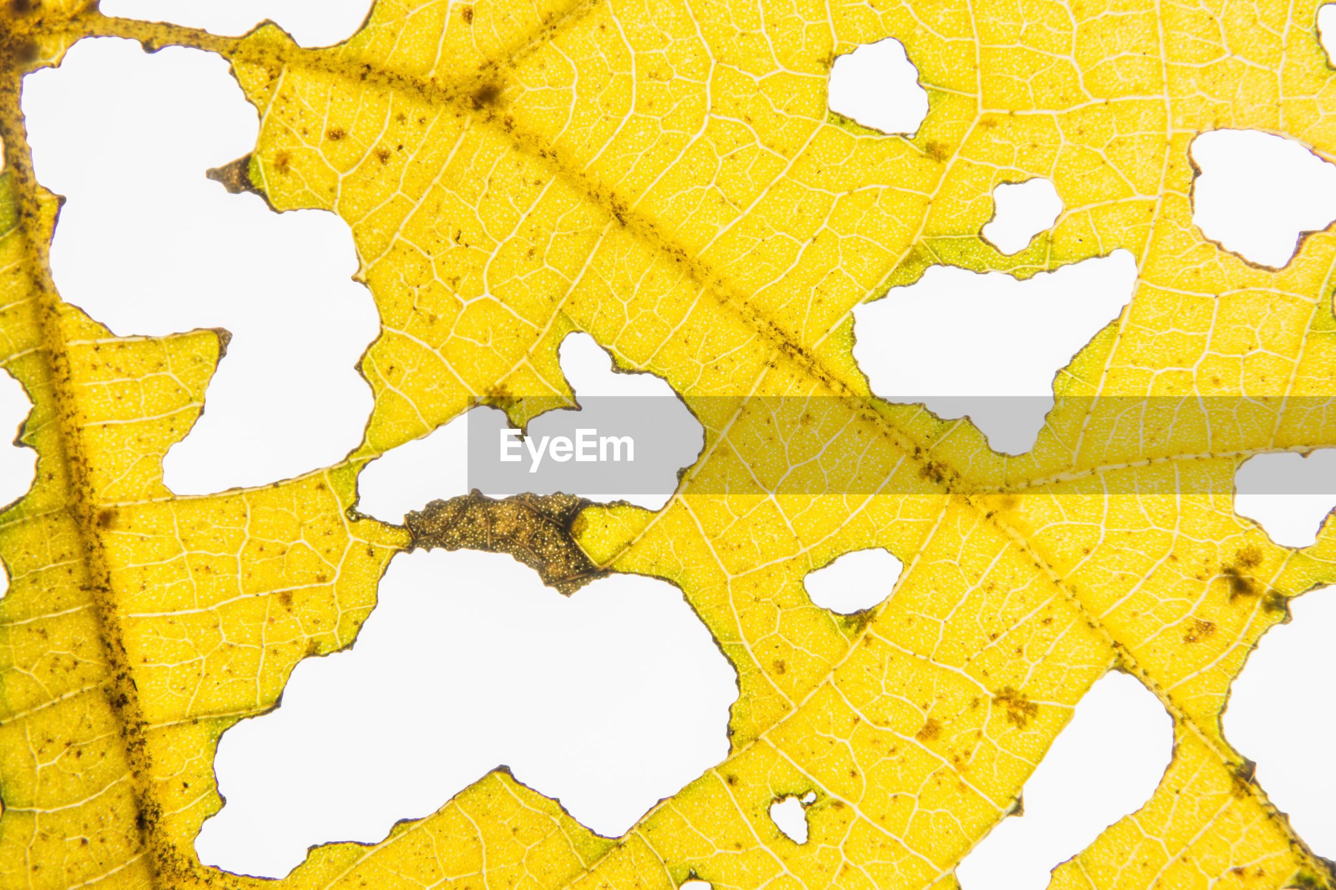 Full frame shot of damaged yellow leaf