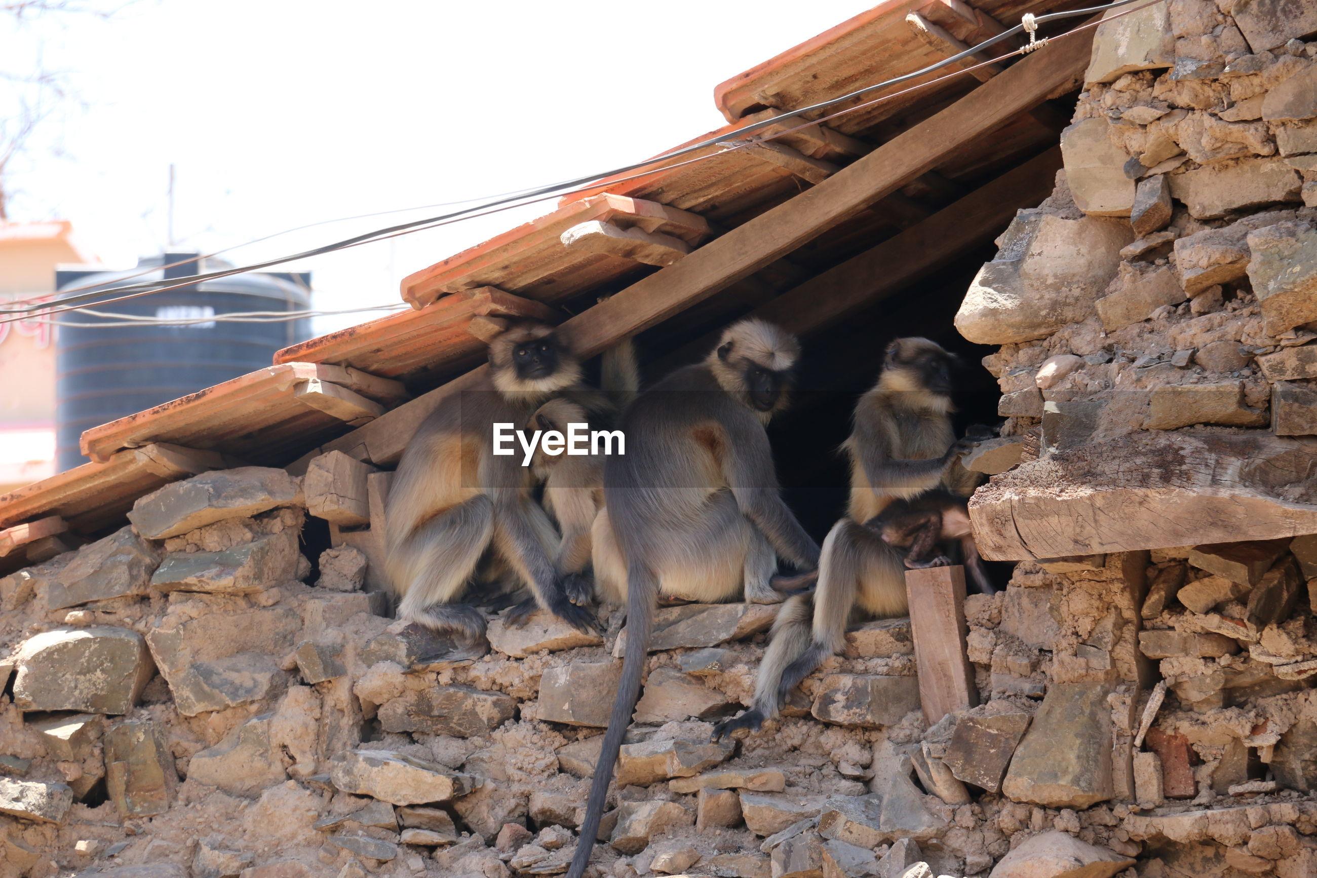 Five monkey sitting on stone wall