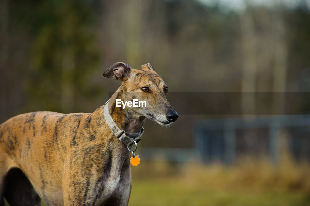 Greyhound standing on field in park