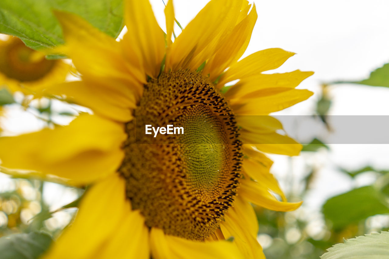 flower, flowering plant, growth, vulnerability, flower head, fragility, yellow, petal, freshness, beauty in nature, plant, inflorescence, sunflower, close-up, pollen, nature, day, no people, focus on foreground, softness