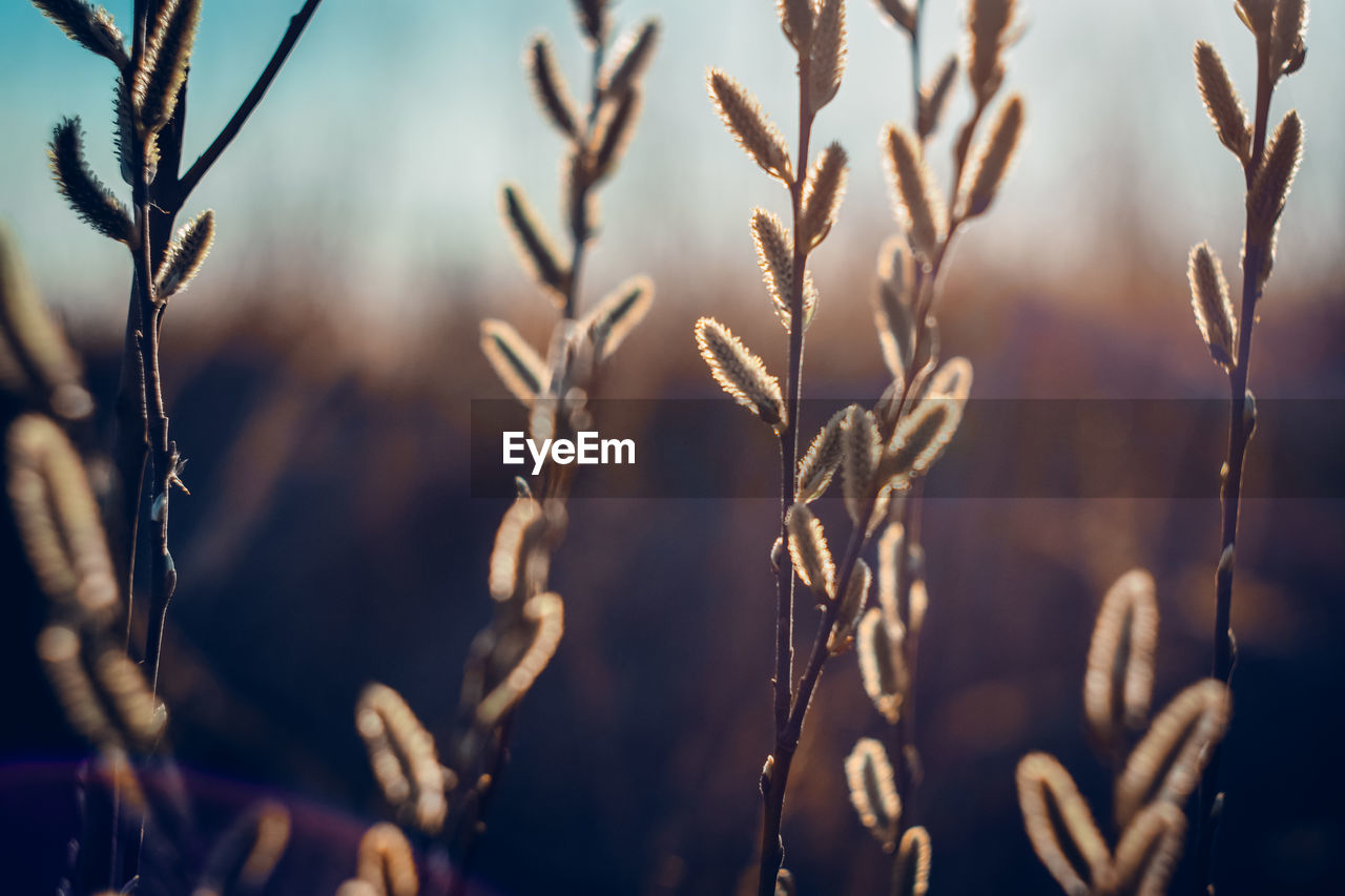 growth, plant, close-up, focus on foreground, no people, nature, beauty in nature, tranquility, day, crop, agriculture, selective focus, cereal plant, sunlight, field, outdoors, plant stem, land, backgrounds, sky, stalk