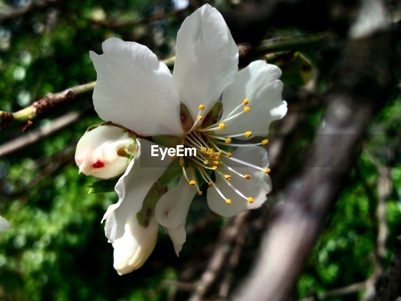 flower, white color, beauty in nature, fragility, nature, growth, tree, blossom, petal, freshness, branch, springtime, apple blossom, botany, no people, close-up, flower head, day, twig, outdoors, stamen, blooming