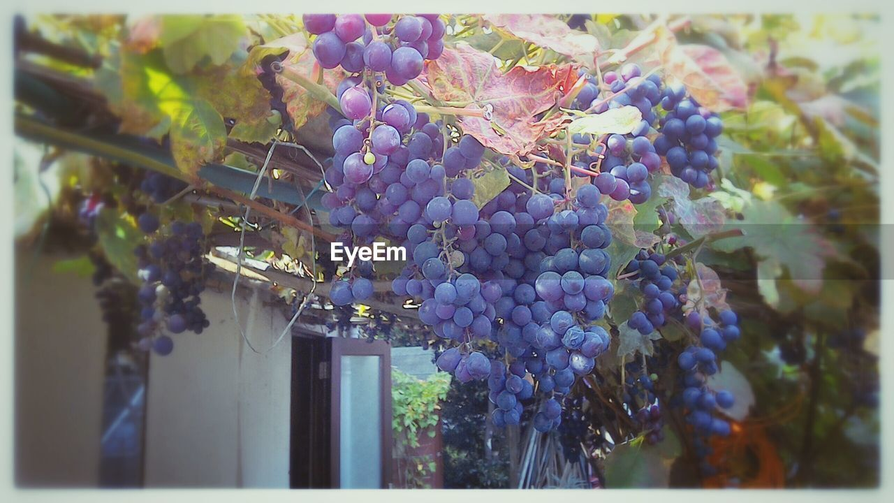 grape, fruit, bunch, growth, vineyard, wine, winemaking, outdoors, hanging, nature, day, no people, close-up