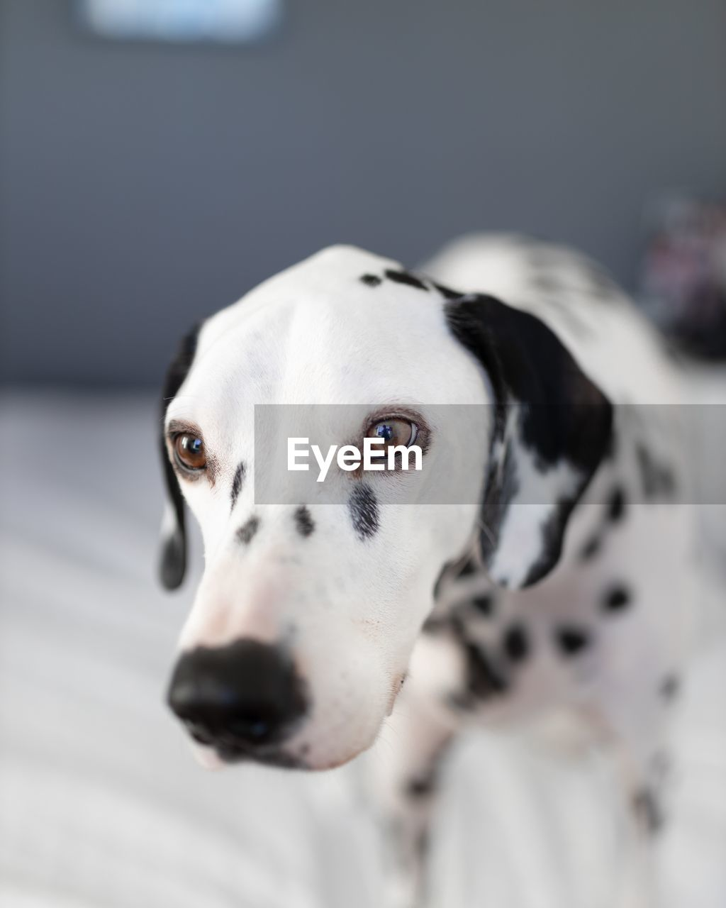 one animal, dog, canine, domestic animals, domestic, mammal, pets, animal themes, animal, dalmatian dog, vertebrate, focus on foreground, no people, spotted, white color, indoors, portrait, close-up, looking at camera, animal body part, animal head, animal eye