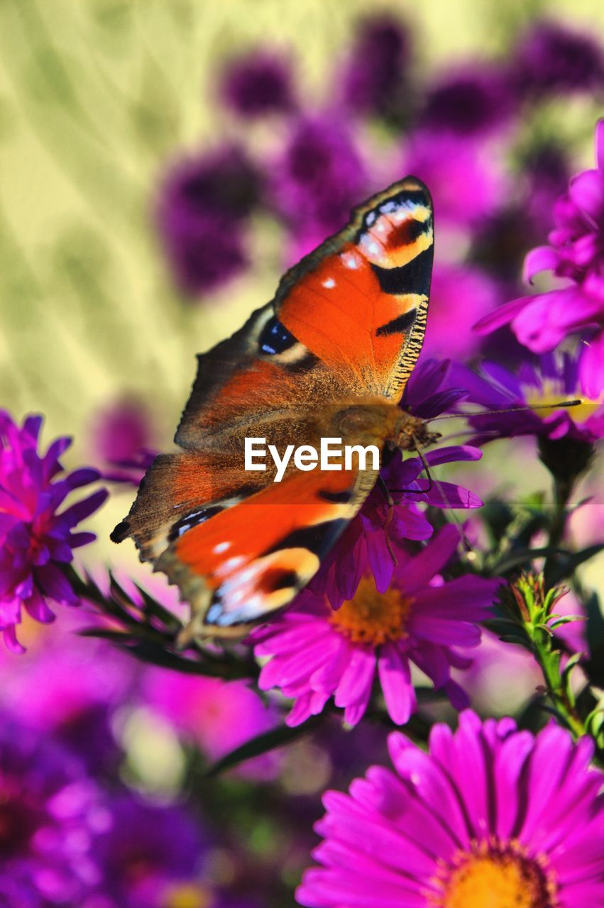 flower, flowering plant, beauty in nature, plant, animal themes, animal, one animal, animal wildlife, freshness, insect, animals in the wild, petal, invertebrate, fragility, flower head, vulnerability, growth, close-up, pink color, butterfly - insect, animal wing, purple, pollination, no people, outdoors, pollen, butterfly