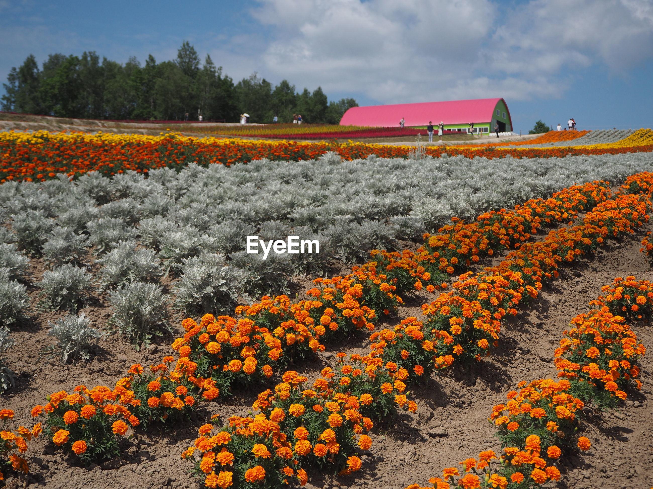 Scenic view of flowering plants on field against orange sky
