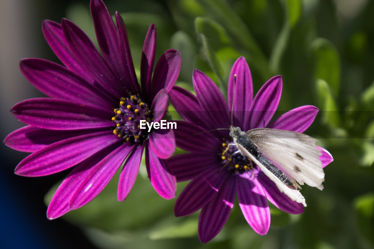 flower, flowering plant, fragility, vulnerability, petal, beauty in nature, growth, flower head, plant, freshness, inflorescence, close-up, focus on foreground, purple, pollen, nature, no people, day, invertebrate, insect, osteospermum, pollination, butterfly - insect