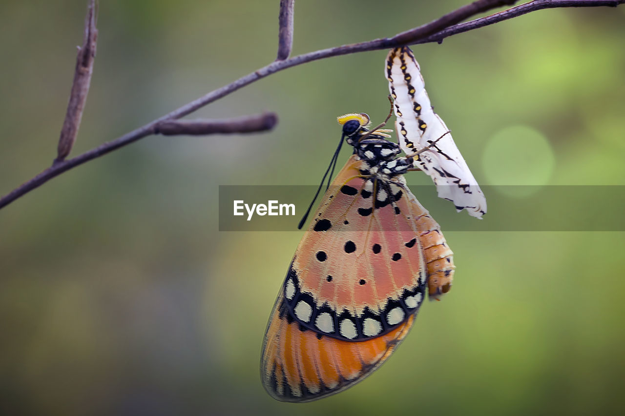animal wildlife, animal themes, animals in the wild, invertebrate, animal, insect, focus on foreground, one animal, animal wing, butterfly - insect, close-up, plant, day, beauty in nature, no people, nature, animal markings, outdoors, zoology, butterfly