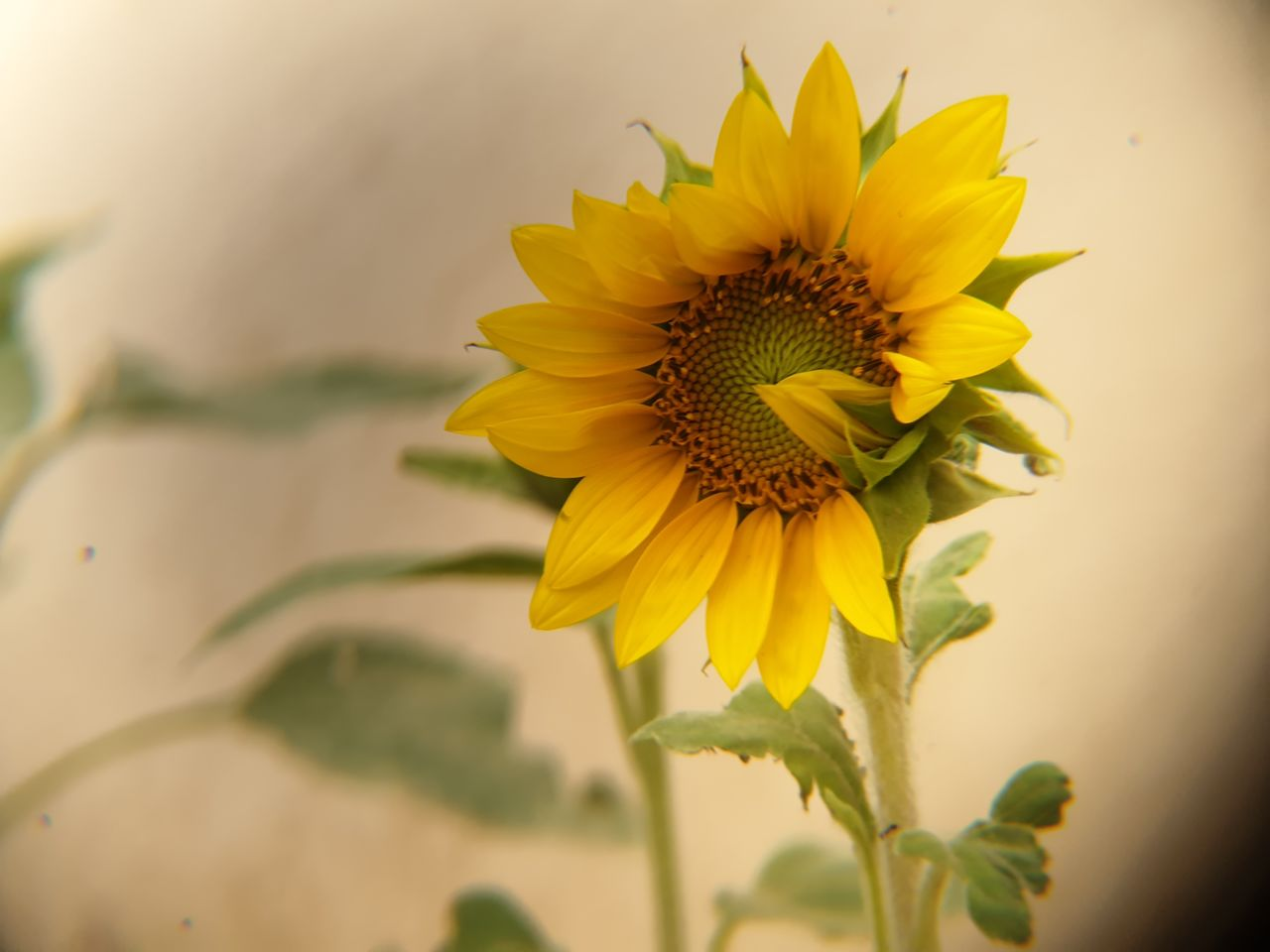 yellow, flowering plant, flower, fragility, petal, vulnerability, freshness, beauty in nature, plant, flower head, inflorescence, growth, close-up, focus on foreground, nature, pollen, no people, sunflower, outdoors, sepal