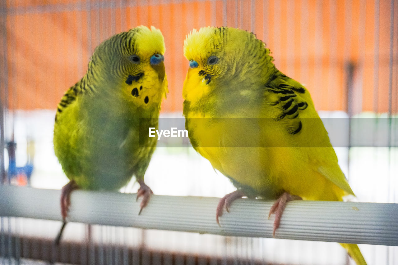 bird, animal themes, parrot, animal, parakeet, vertebrate, group of animals, two animals, animal wildlife, perching, budgerigar, yellow, close-up, cage, focus on foreground, togetherness, indoors, no people, birdcage, animals in captivity, care