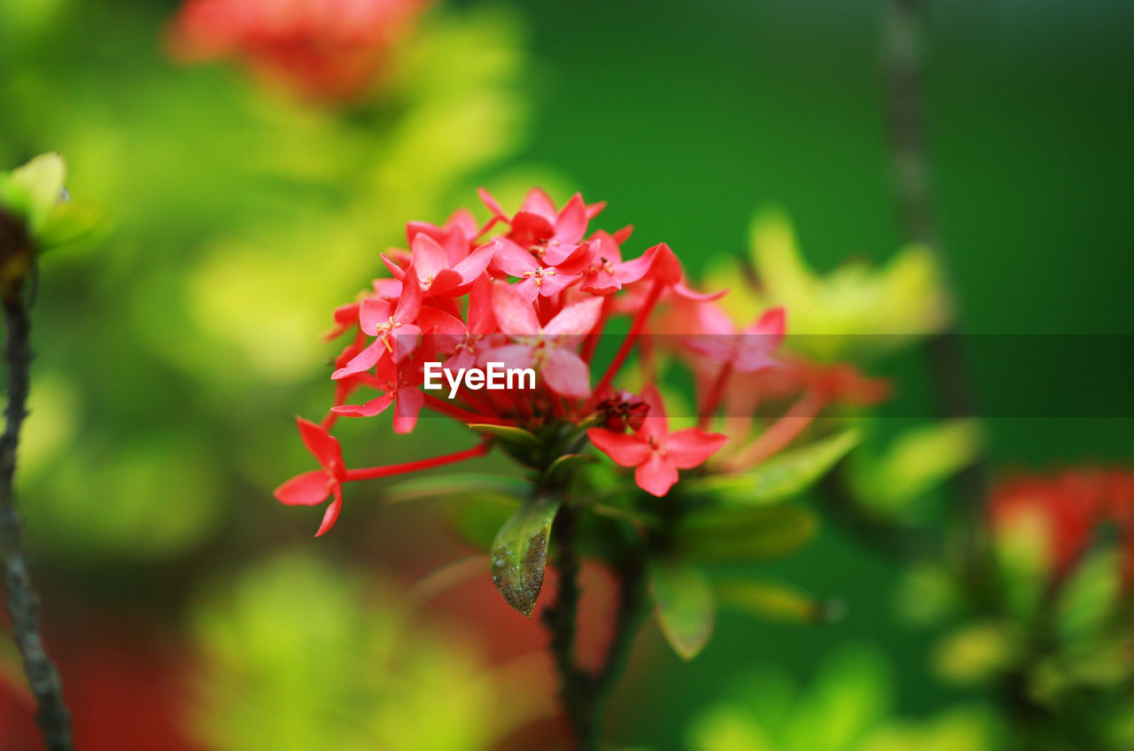 Close-up of red flowering plant ixora