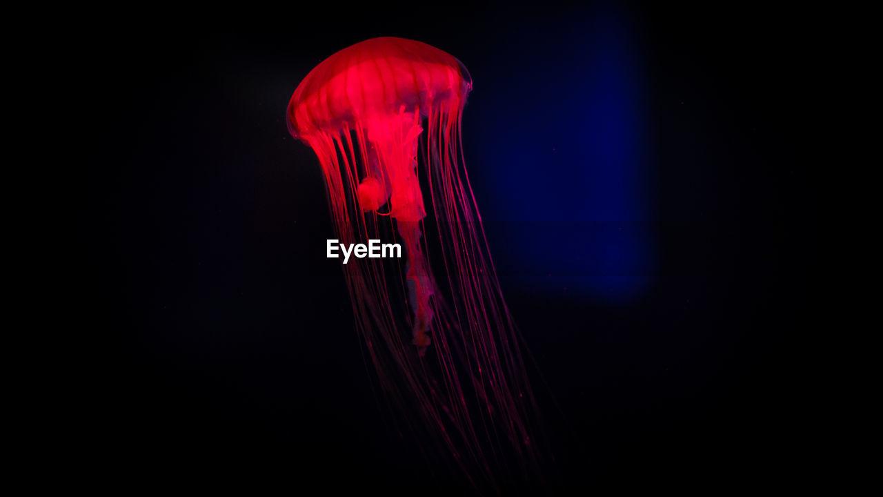 Jellyfish Swimming In Aquarium