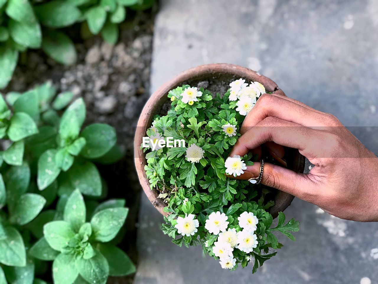 human hand, plant, hand, real people, freshness, holding, one person, flower, flowering plant, human body part, growth, nature, beauty in nature, green color, leaf, day, vulnerability, high angle view, lifestyles, fragility, outdoors, flower head, finger, human limb