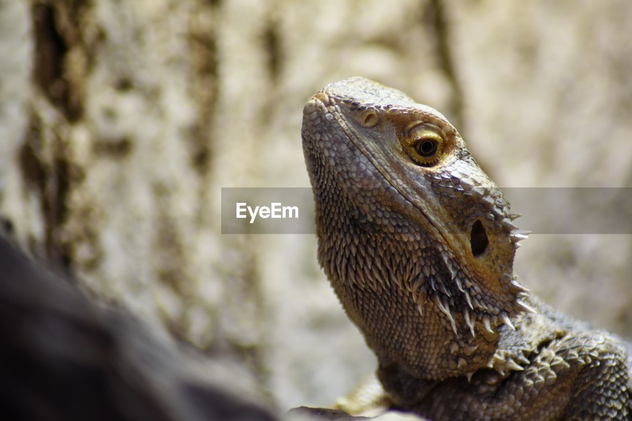 one animal, animal themes, animal, animal wildlife, animals in the wild, reptile, vertebrate, lizard, close-up, focus on foreground, day, no people, selective focus, nature, animal body part, animal head, looking, outdoors, looking away, bearded dragon, animal scale, animal eye, profile view