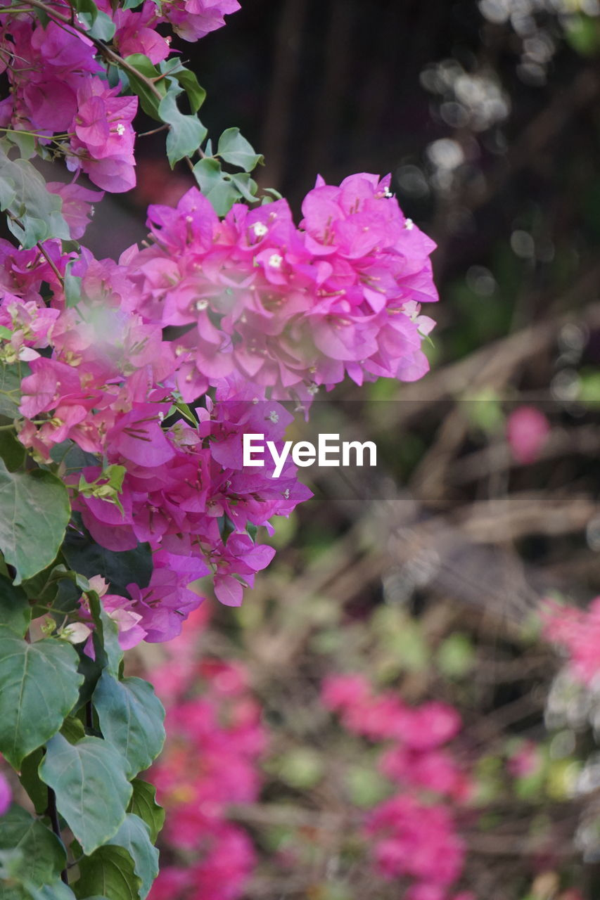 flower, pink color, beauty in nature, nature, fragility, growth, petal, plant, no people, outdoors, blooming, day, bougainvillea, freshness, lilac, close-up, flower head