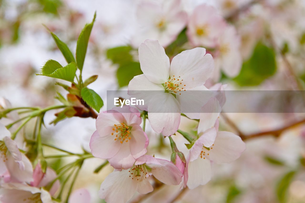 flower, flowering plant, fragility, plant, freshness, vulnerability, beauty in nature, petal, growth, close-up, inflorescence, flower head, nature, white color, pink color, pollen, no people, day, focus on foreground, blossom, springtime, outdoors, cherry blossom, cherry tree
