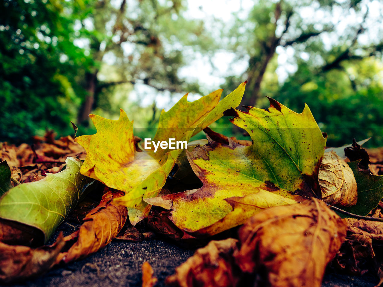 leaf, autumn, change, nature, dry, leaves, outdoors, day, no people, close-up, tree, tranquility, beauty in nature, maple leaf, focus on foreground, growth, fragility, maple