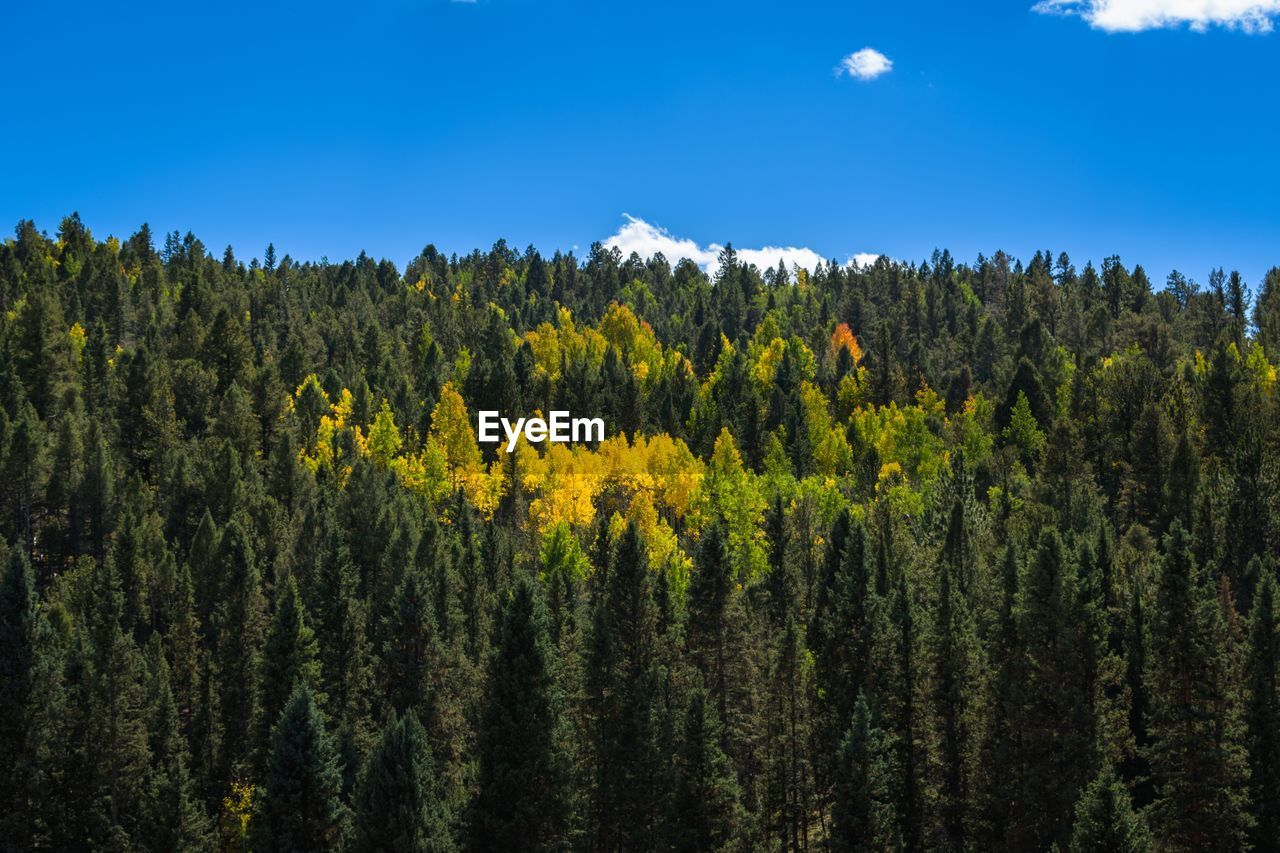 beauty in nature, plant, growth, sky, tranquility, tranquil scene, tree, scenics - nature, land, landscape, yellow, nature, environment, day, forest, no people, non-urban scene, flower, mountain, green color, outdoors, pine tree, coniferous tree