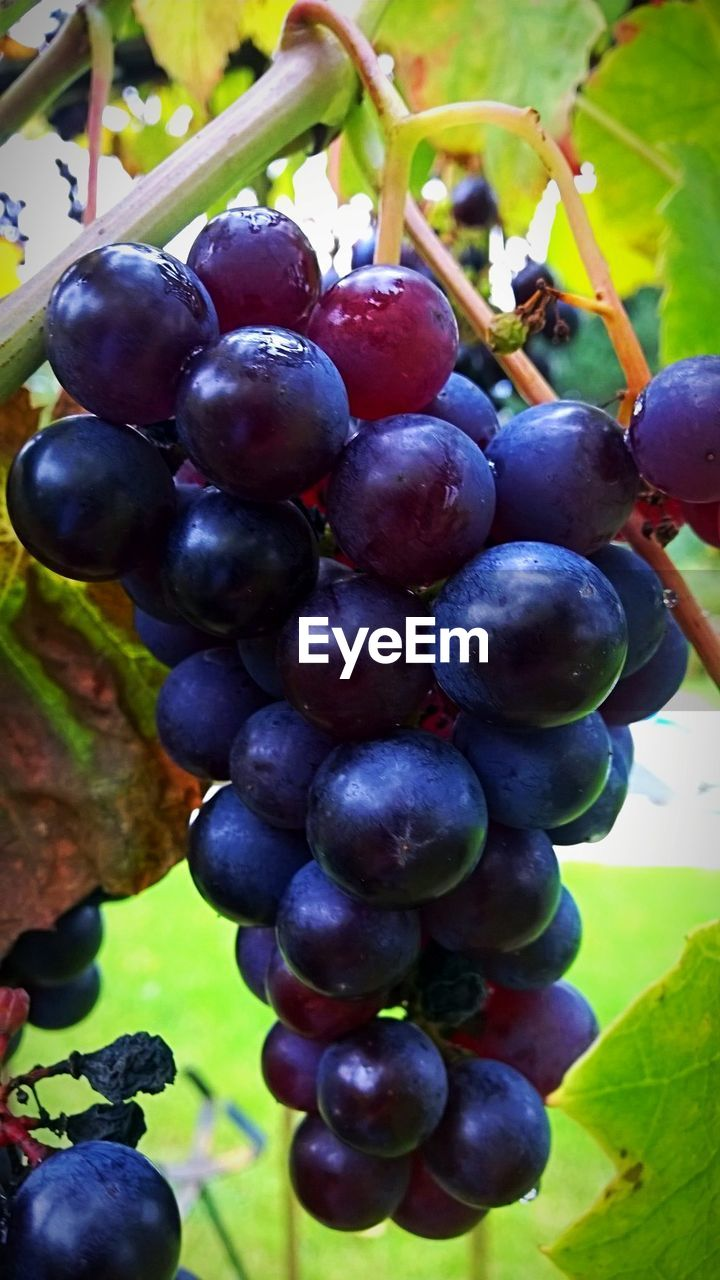 fruit, growth, food and drink, grape, healthy eating, freshness, bunch, agriculture, crop, food, day, close-up, abundance, no people, nature, plant, focus on foreground, leaf, red, green color, hanging, outdoors, beauty in nature, tree