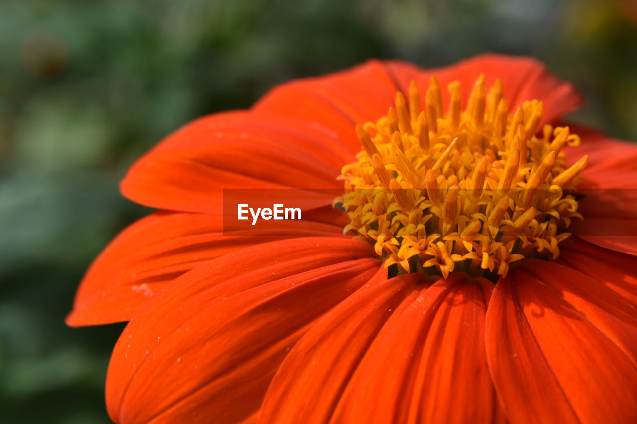 flowering plant, petal, flower, freshness, flower head, inflorescence, beauty in nature, vulnerability, fragility, close-up, growth, orange color, plant, focus on foreground, pollen, day, nature, no people, botany, orange