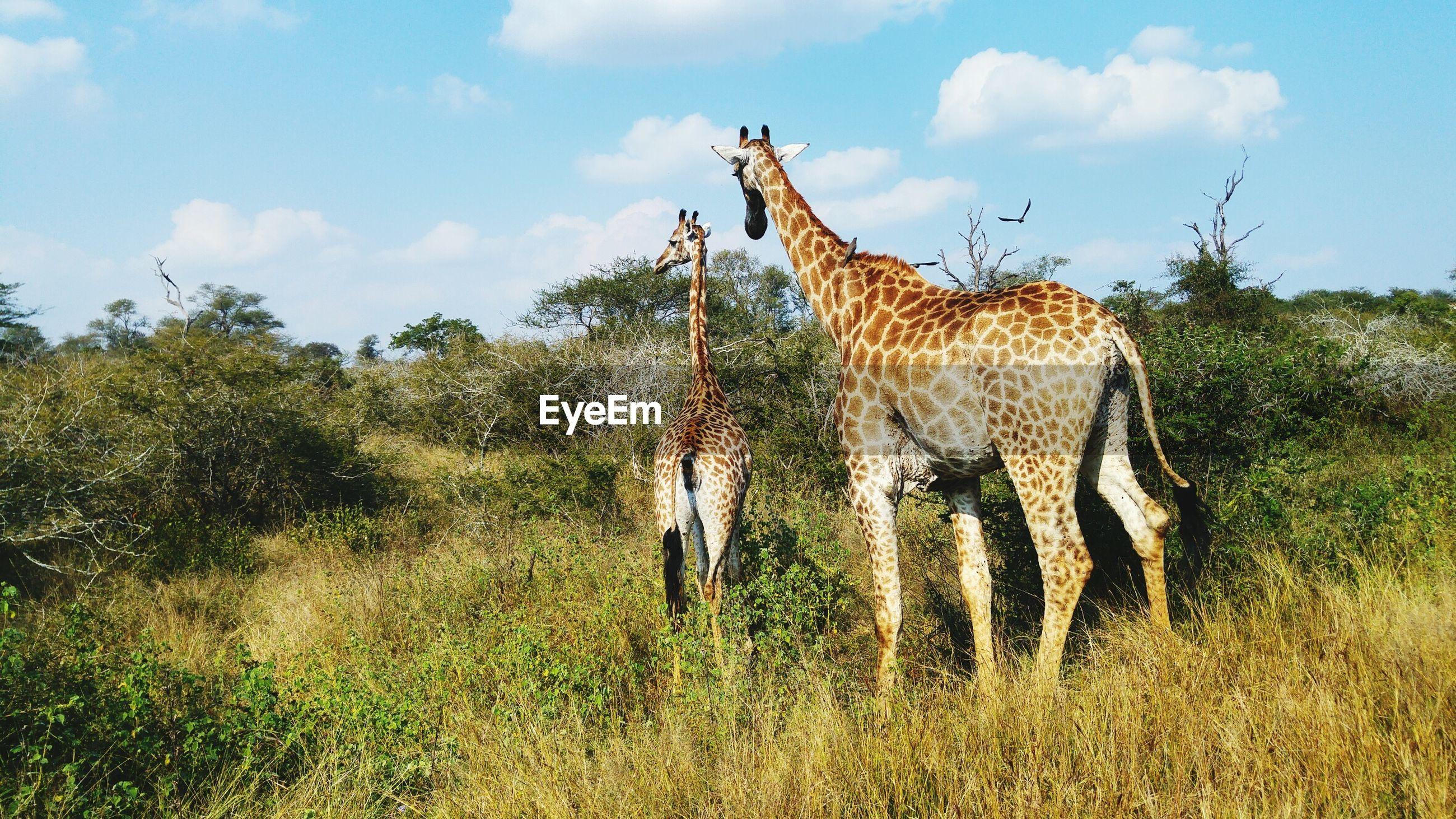 ZEBRAS STANDING ON GRASS AGAINST SKY
