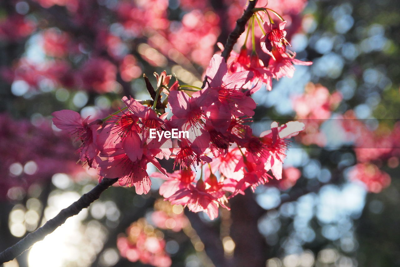 flowering plant, flower, plant, fragility, freshness, growth, beauty in nature, vulnerability, petal, pink color, tree, blossom, close-up, flower head, day, nature, focus on foreground, springtime, branch, no people, cherry blossom, outdoors, cherry tree, pollen, pollination, bunch of flowers, spring