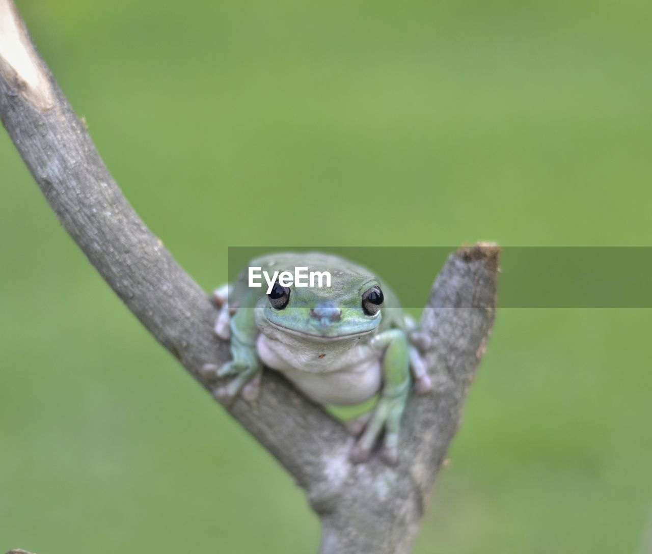 one animal, animal, animal wildlife, animal themes, animals in the wild, vertebrate, close-up, green color, focus on foreground, no people, nature, day, plant, animal body part, reptile, amphibian, outdoors, animal head, selective focus, frog, animal eye