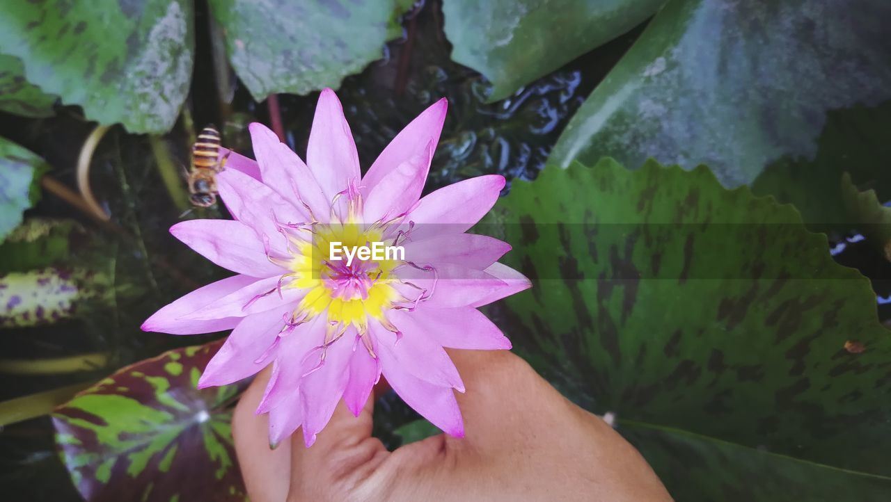 Close-up of cropped hand holding purple water lily