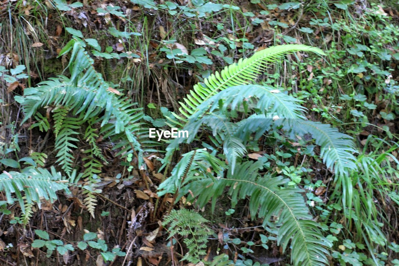 growth, plant, green color, nature, fern, leaf, outdoors, day, no people, beauty in nature, fragility, close-up, freshness