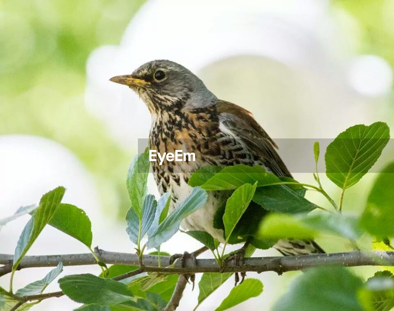 Close-Up Of Fieldfare Perching On Branch