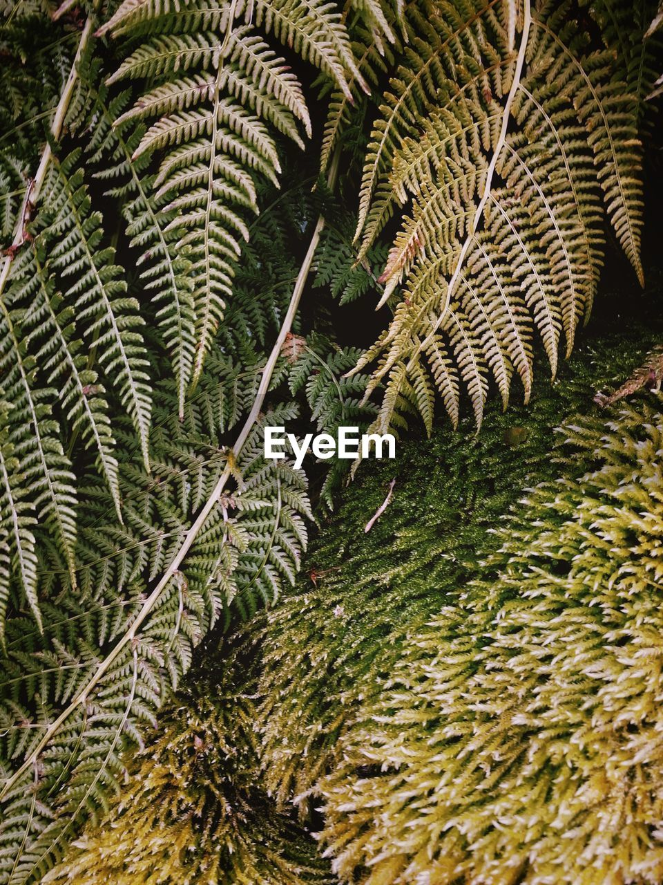 HIGH ANGLE VIEW OF FERN LEAVES ON FIELD