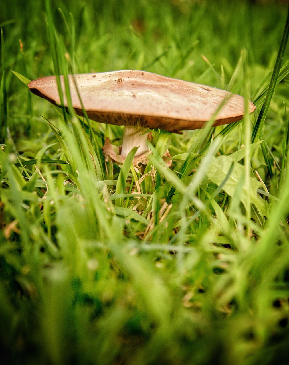 mushroom, grass, growth, nature, fungus, field, toadstool, selective focus, close-up, beauty in nature, fly agaric, outdoors, green color, day, no people, fragility, freshness