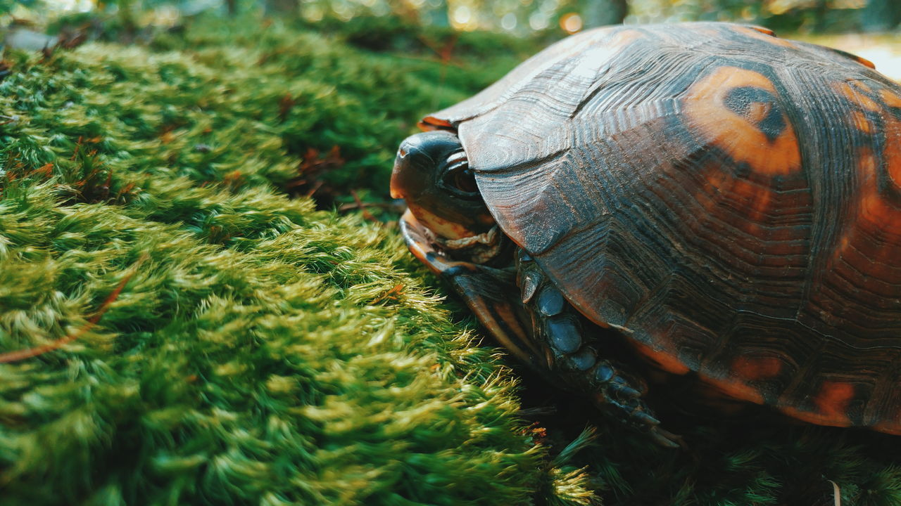 Close-up of turtle on moss covered field