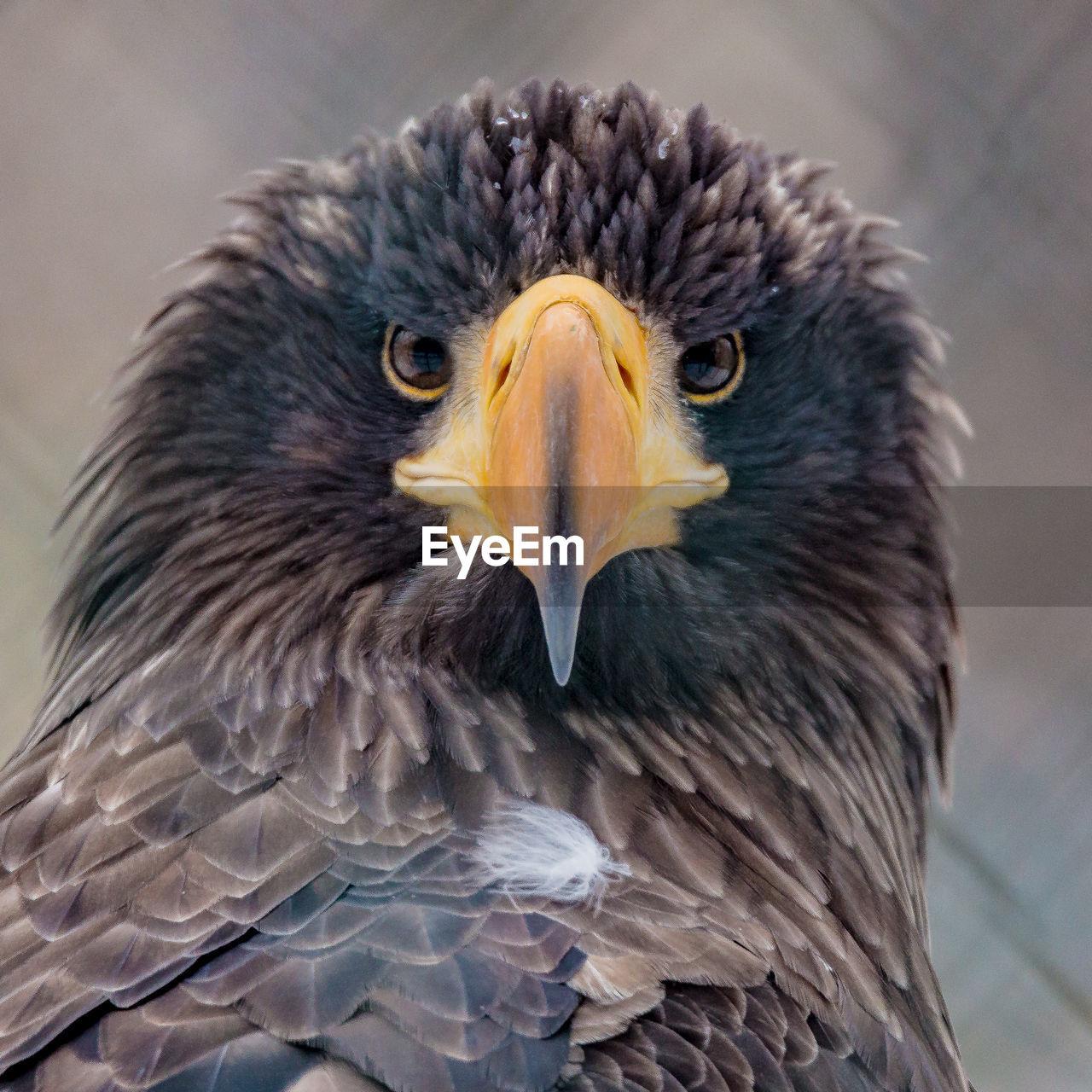 Close-Up Portrait Of A Eagle