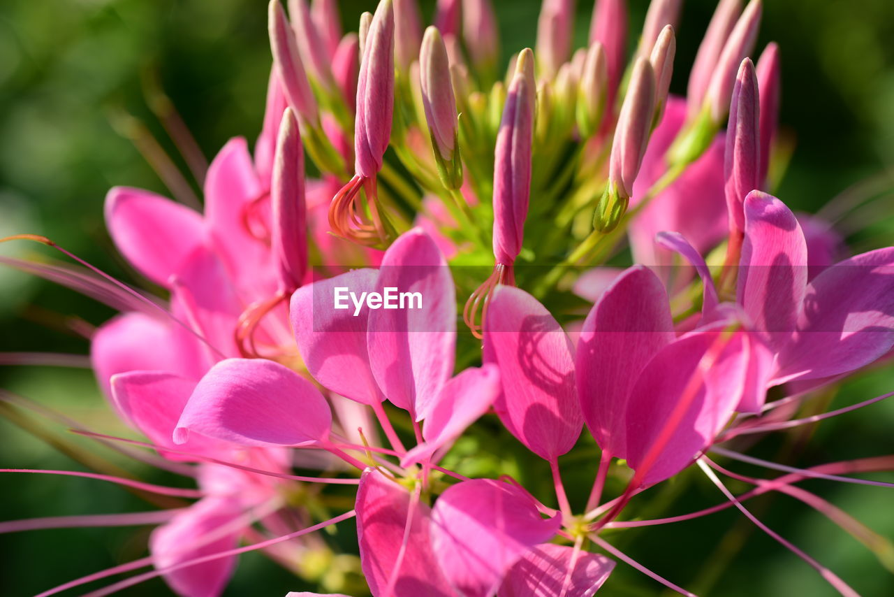 flower, flowering plant, plant, beauty in nature, vulnerability, pink color, petal, freshness, fragility, growth, close-up, flower head, inflorescence, nature, day, no people, focus on foreground, selective focus, outdoors, pollen