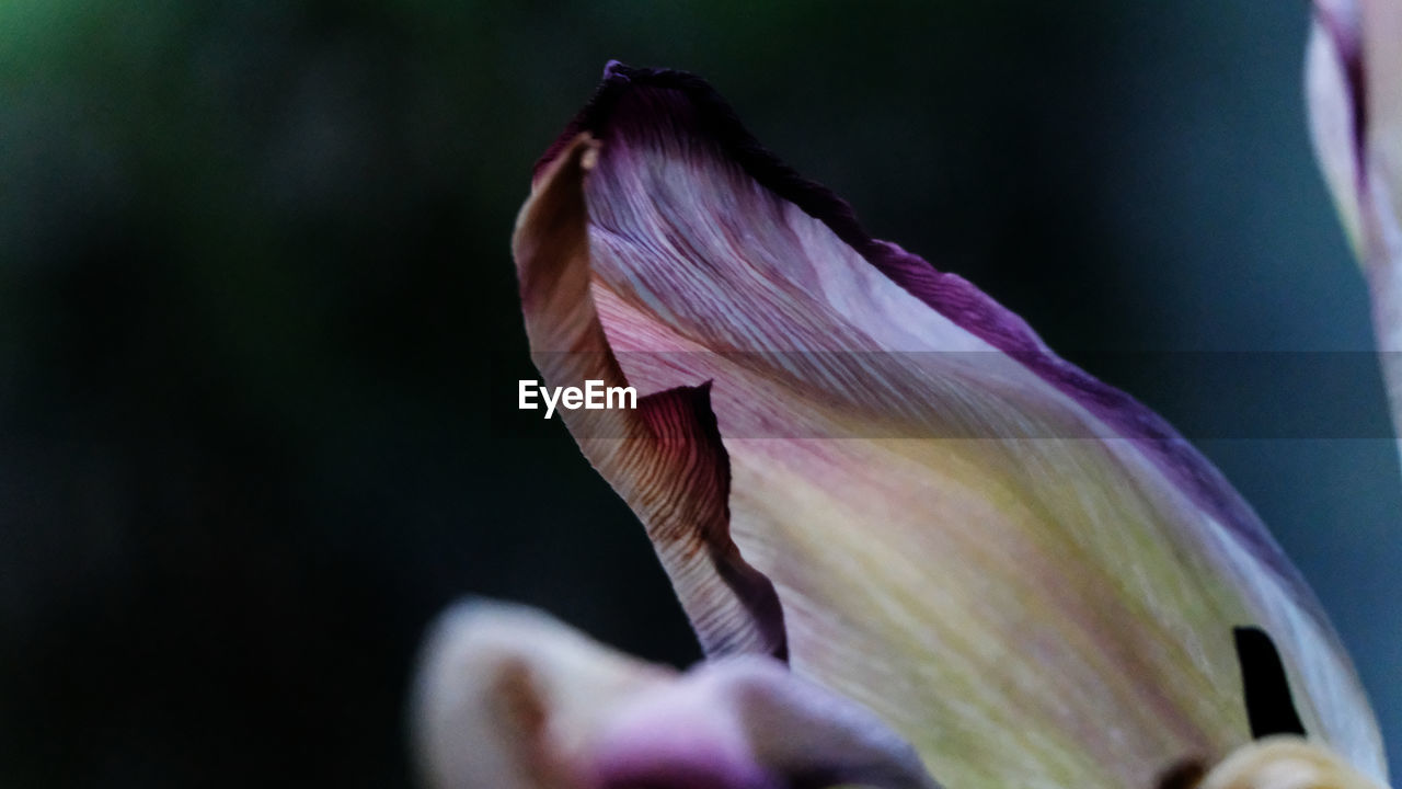 vulnerability, fragility, close-up, petal, beauty in nature, flowering plant, flower, freshness, plant, growth, flower head, inflorescence, nature, no people, focus on foreground, day, selective focus, pink color, outdoors, iris - plant, sepal