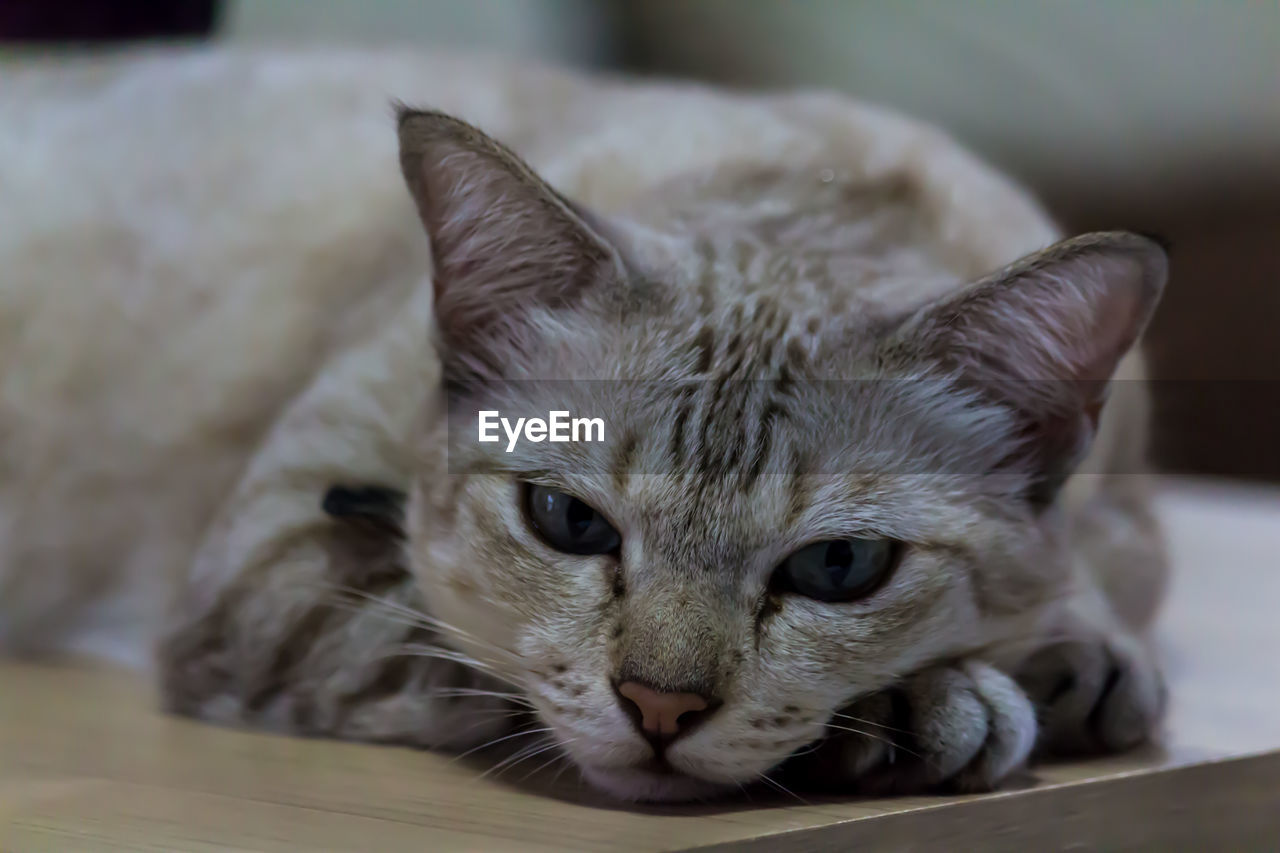 one animal, animal themes, domestic cat, mammal, domestic, cat, pets, domestic animals, vertebrate, animal, feline, close-up, indoors, no people, looking at camera, whisker, focus on foreground, portrait, animal body part, relaxation, animal head, animal eye, tabby