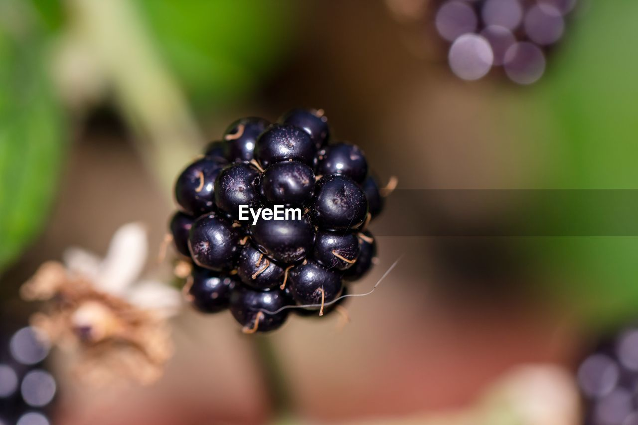 food and drink, berry fruit, healthy eating, fruit, food, freshness, wellbeing, close-up, selective focus, focus on foreground, blackberry, nature, growth, no people, day, blackberry - fruit, black color, plant, green color, ripe