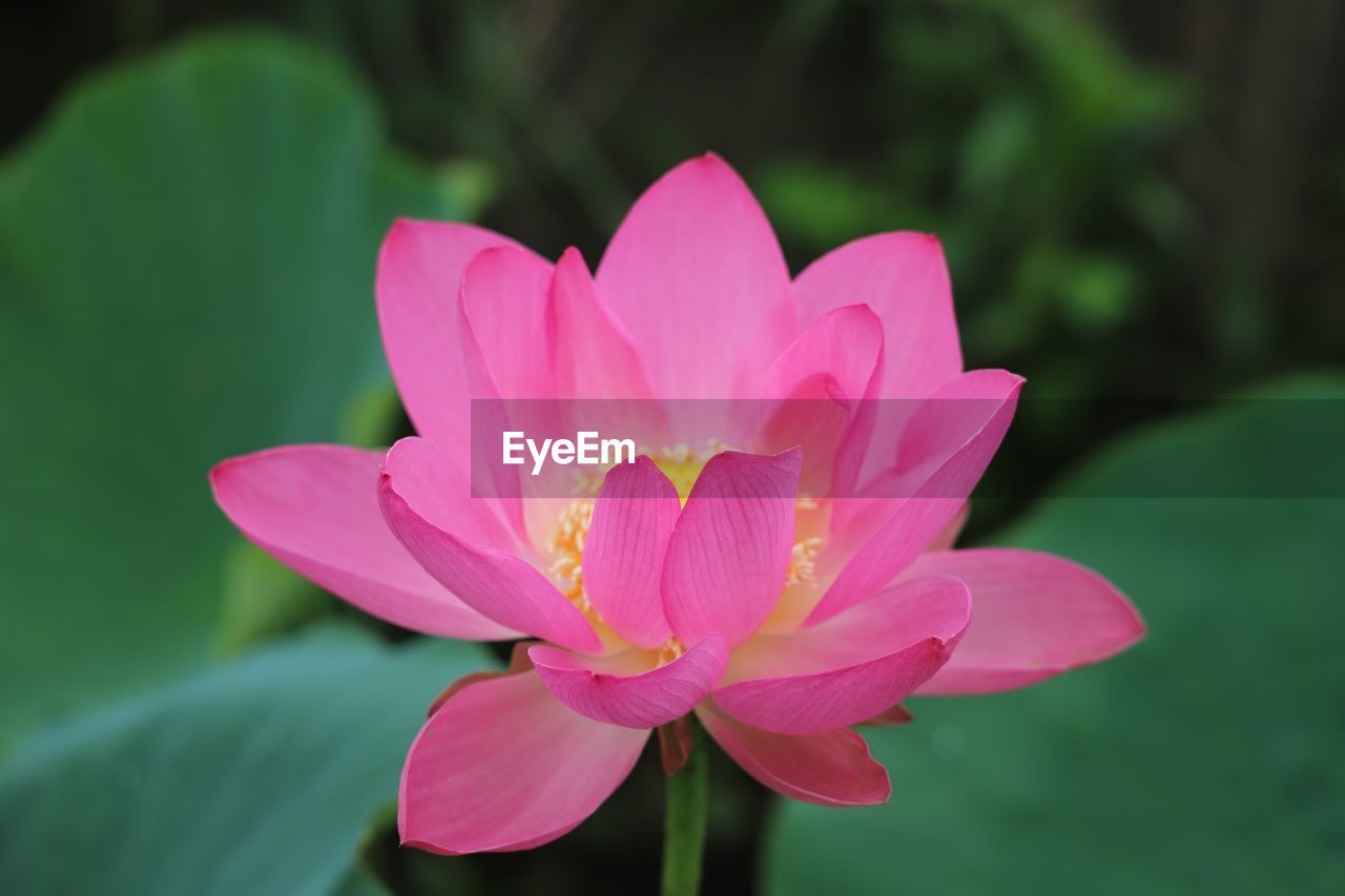 flower, flowering plant, plant, petal, vulnerability, freshness, pink color, fragility, close-up, flower head, inflorescence, beauty in nature, growth, water lily, focus on foreground, nature, no people, leaf, day, lotus water lily, pollen