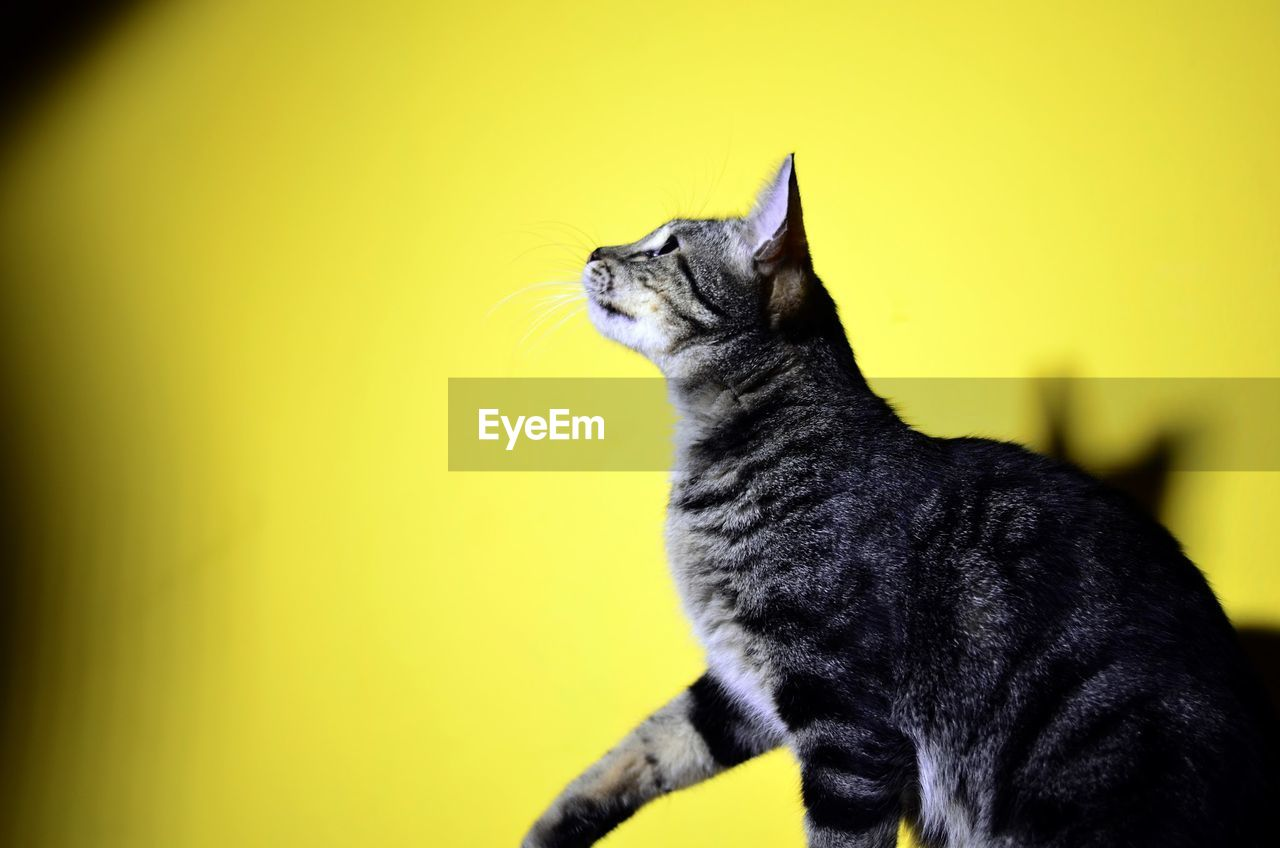cat, domestic, pets, feline, domestic animals, domestic cat, animal themes, one animal, animal, mammal, vertebrate, no people, yellow, looking, looking away, black color, whisker, indoors, side view, close-up, profile view
