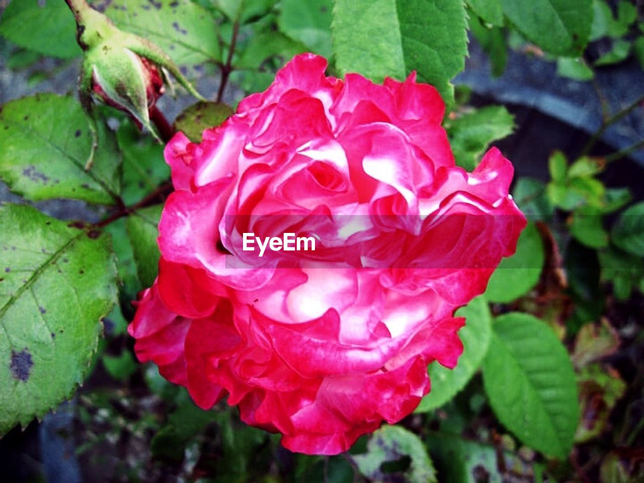 flower, petal, growth, nature, rose - flower, plant, leaf, flower head, beauty in nature, fragility, day, pink color, freshness, outdoors, close-up, blooming, no people, peony