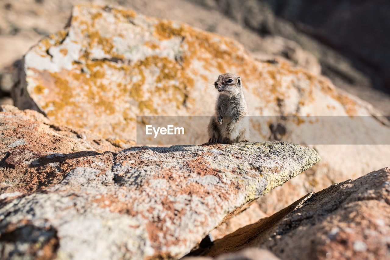 animal wildlife, one animal, solid, animals in the wild, rock, mammal, rock - object, rodent, no people, selective focus, vertebrate, nature, outdoors, day, meerkat, focus on foreground, looking