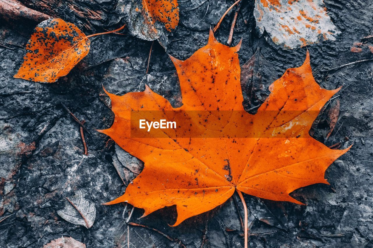 plant part, leaf, orange color, autumn, change, nature, close-up, day, no people, natural pattern, leaves, outdoors, dry, beauty in nature, plant, leaf vein, maple leaf, full frame, high angle view, directly above, autumn collection, natural condition, orange, fall