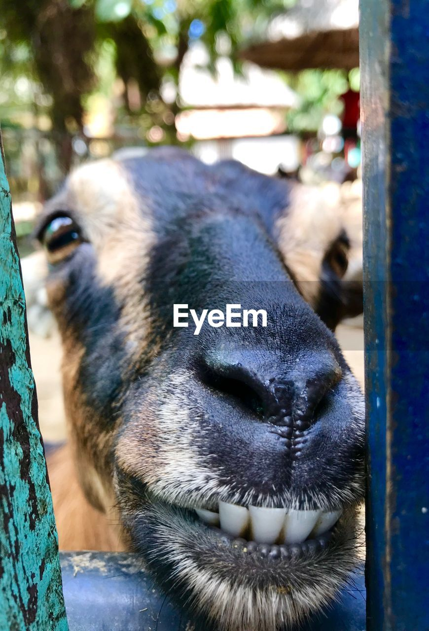 mammal, animal, animal themes, one animal, vertebrate, domestic animals, domestic, animal body part, pets, close-up, focus on foreground, no people, animal head, day, animal wildlife, livestock, tree, nature, canine, outdoors, snout, animal nose, mouth open, animal mouth