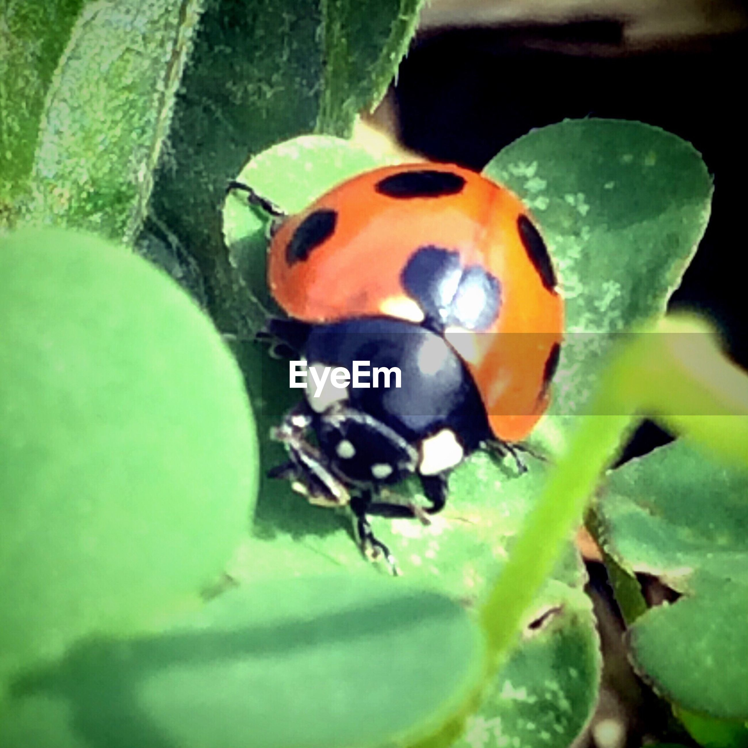 animal themes, one animal, animals in the wild, insect, leaf, wildlife, green color, ladybug, close-up, plant, animal markings, focus on foreground, nature, selective focus, spotted, beauty in nature, two animals, growth, high angle view, no people
