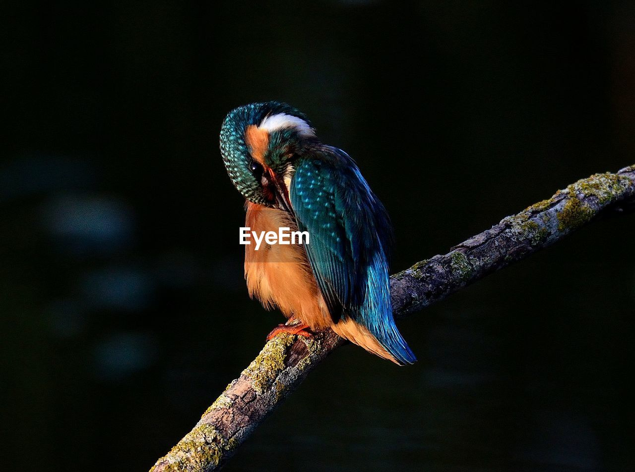 vertebrate, bird, perching, animal, animal wildlife, animals in the wild, animal themes, one animal, branch, tree, kingfisher, focus on foreground, no people, close-up, nature, beak, plant, day, blue, looking away, stick - plant part