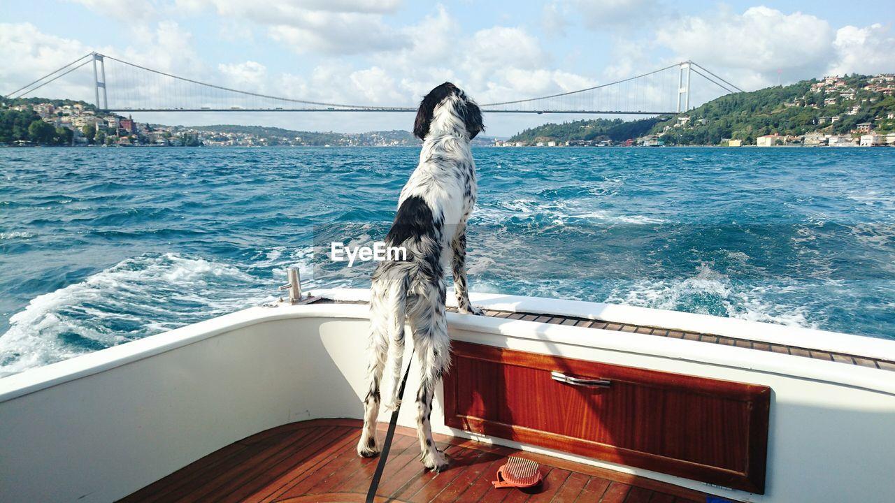 English setter on boat sailing in river against bosphorus bridge