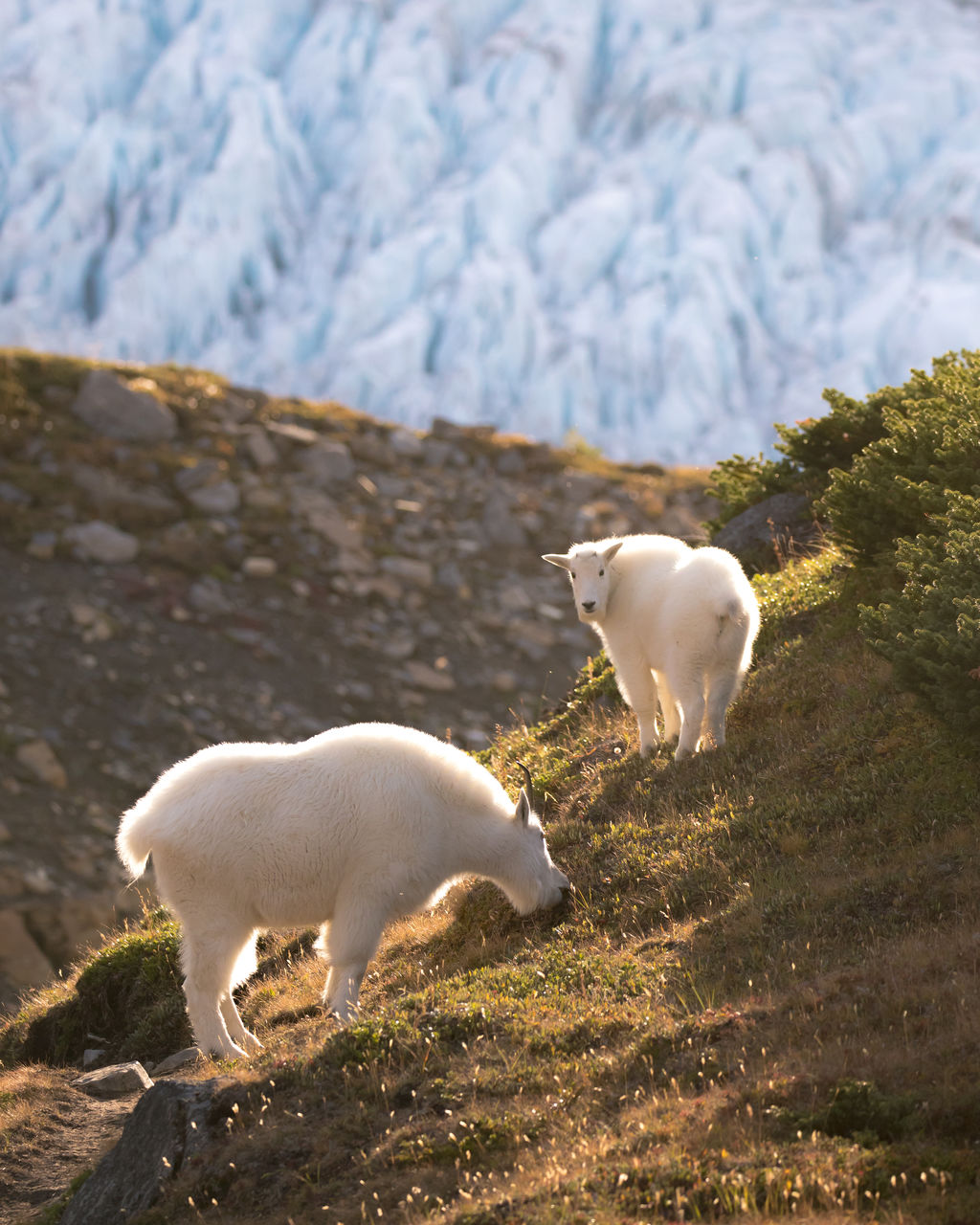 mammal, animal themes, animal, domestic animals, domestic, group of animals, pets, vertebrate, livestock, white color, two animals, land, no people, field, nature, day, mountain, sheep, animal wildlife, outdoors, herbivorous