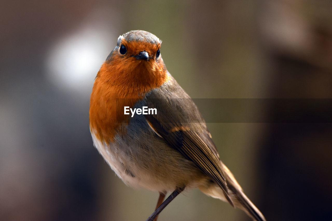Close-Up Portrait Of Robin